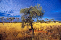 OB106 Desert Oak and Spinifex, Outback Queensland
