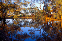 OB103 Coolabah Trees Reflecting in Billabong, Sturt National Park NSW