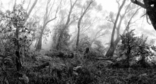 BKW121 Bush in Mist, Blue Mountains National Park NSW