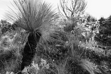 BKW120 Grass Tree & Flannel Flowers, Upper Blue Mountains N.P. NSW