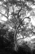 BKW106 Scribbly Gum, Blue Mountains National Park NSW