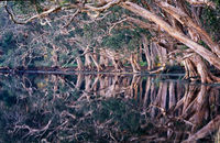 LS106  Paperbark Trees Reflecting at Myall Lakes National Park NSW