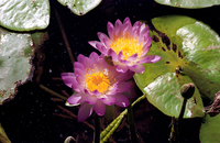LS108 Native Water Lillies