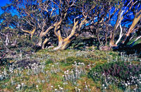 LS121 Snow Gums, Summer, Kosciuszko National Park NSW