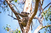 LS132 Koala, Warrumbungle National Park NSW