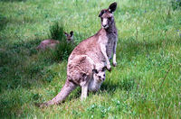 LS131 Grey Kangaroo & Joey, Warrumbungle National Park NSW