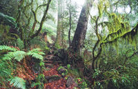 LS135 Antarctic Beech Rainforest, New England National Park NSW