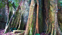 LS139 Rainforest, Dorrigo National Park NSW
