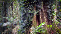 LS140 Rainforest, Dorrigo National Park NSW.