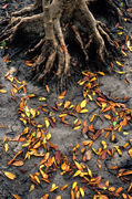 LS148 Mangrove Roots & Leaves