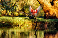 OB104 Galah, Billabong Sturt National Park NSW