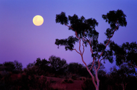 OB107 Full Moon at Sunset, Ghost gum, Outback Australia