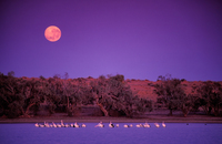 OB112 Pelicans, Full Moon, Coongie Lakes, South Australia