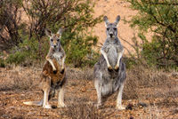 OB123 Red Kangaroos, Flinders Ranges, South Australia