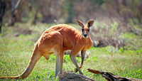 OB137 Red Kangaroo, Mutawintji National Park NSW