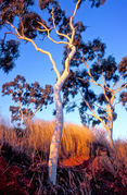 OB143 Ghost gum, Outback Queensland