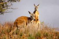 OB124 Red Kangaroos, Flinders Ranges, South Australia